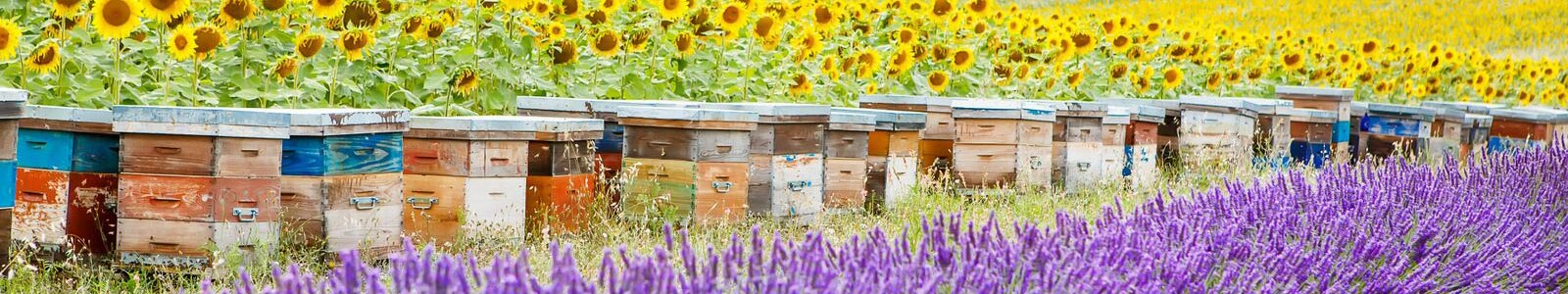 beehive boxes in field of sunflowers and lavender produce fragrant beeswax for candles