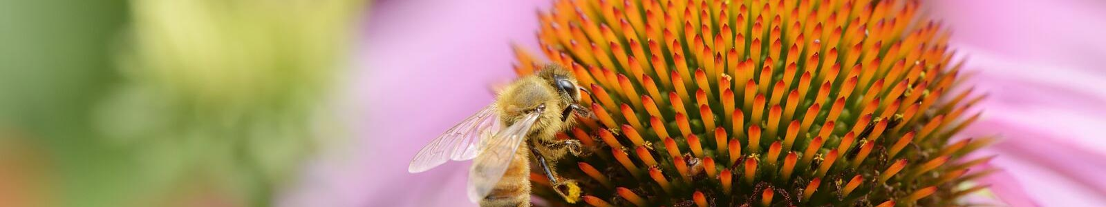 honey bee collecting pollen on echinacea